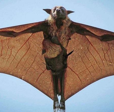 تصویر بسیار عجیب و نادر از یک خفاش غول آسا در حال پرواز!