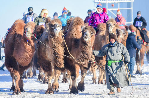 برگزاری جشنواره شتر درشمال چین