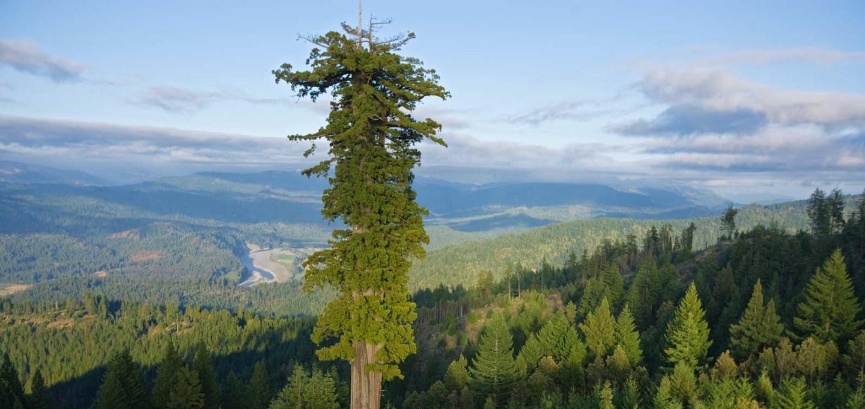 هیپریون بلندترین درخت زنده دنیا